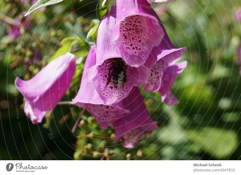 Bellflower in full splendor and color with bee in bloom Flowers,plants,bellflower,colors, Garden Nature Colour photo Blossom Blossoming Close-up Summer Spring