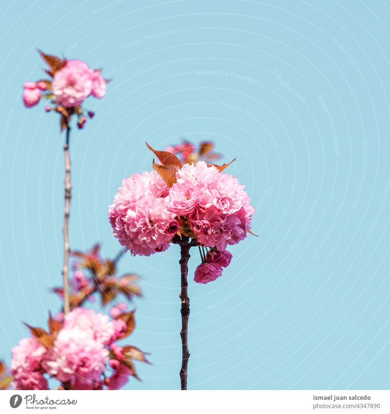 beautiful pink tree flowers in spring season petals plant garden floral nature natural blossom decorative decoration romantic beauty fragility background