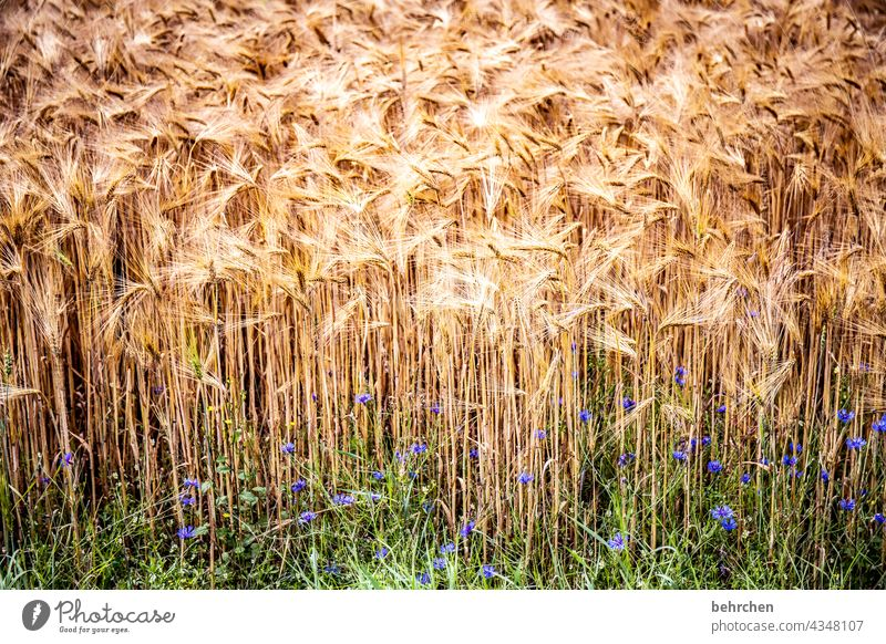 worth one's weight in gold Field Grain Summer Grain field Barley Rye Wheat Oats Agriculture Nature Ear of corn Cornfield Food Plant Idyll idyllically
