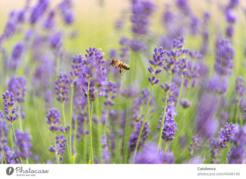 The bee in the lavender bed Nature fauna flora Plant Animal Insect Bee Honey bee Flying Pollen Beehive Diligent Exterior shot Work and employment Endurance Day