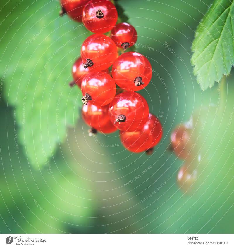 juicy red currants Ribes Currant Redcurrant Berries currant bush soft fruit Berry bush juicy fruits Juicy ripe fruits to bite into red berries Red Fruits shrub