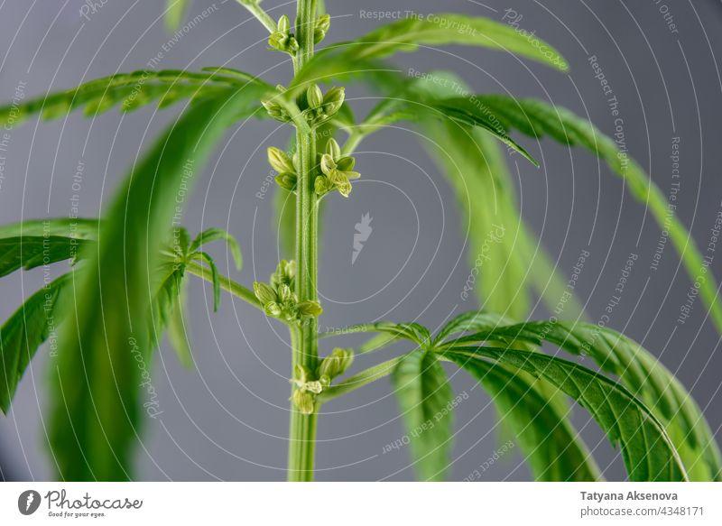 Cannabis plant close up cannabis leaf hemp marijuana herb grow weed cbd sativa green medicine nature medical drug agriculture natural growth grass bud thc ganja