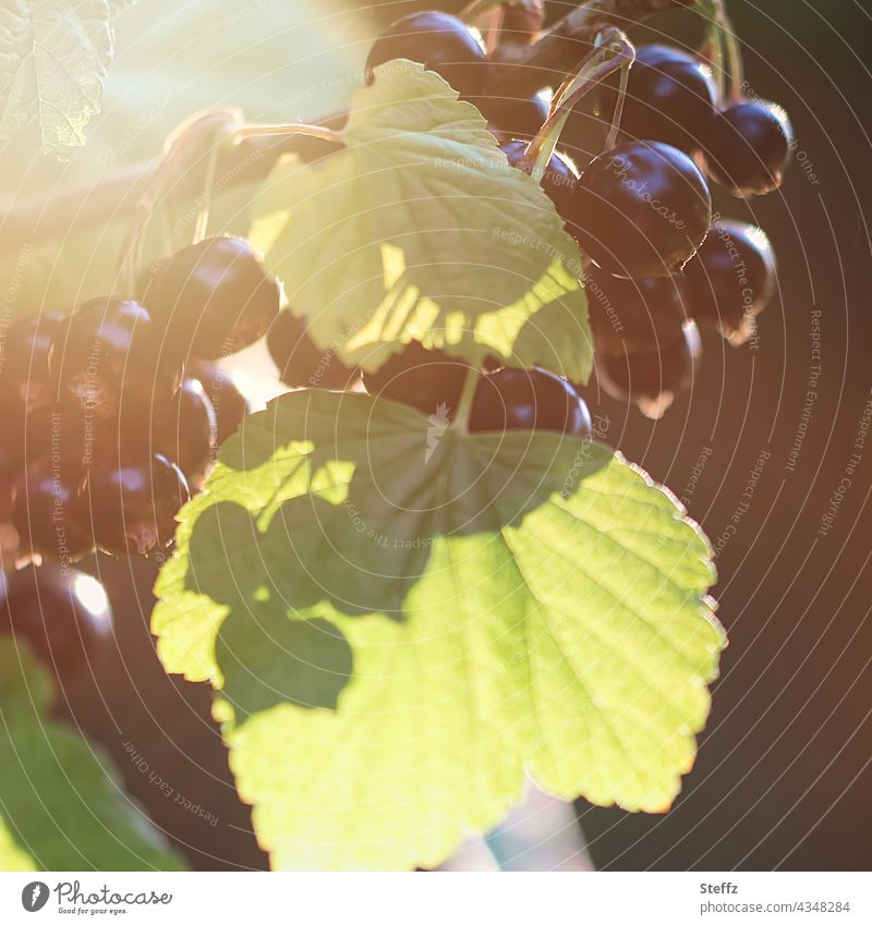 Black currants ripen in the sun Redcurrant black currants Berries Cassis ribes nigrum fruits currant bush ripe fruits soft fruit Berry bush shrub summer fruits