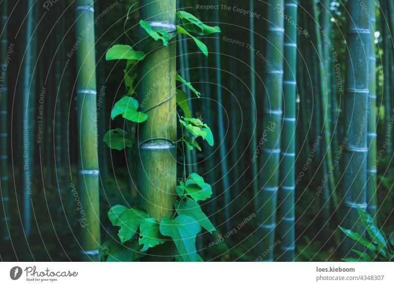 Detail of bamboo trunk covered with envy in mystical forest at Arashiyama grove in Kyoto, Japan tree garden kyoto abstract arashiyama zen spa pattern texture