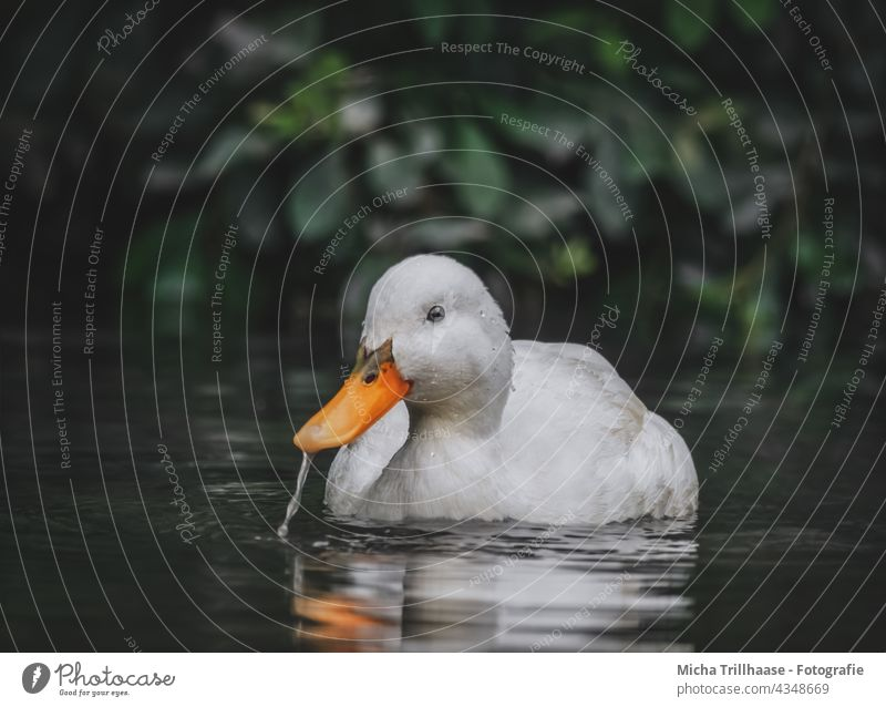 White duck in lake Mallard Anas platyrhynchos Duck Head Eyes Beak feathers plumage Lake Water Lakeside be afloat Bird Wild bird Animal Wild animal Nature