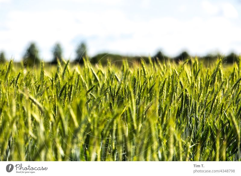 a field of green corn Field Brandenburg Landscape Sky Exterior shot Deserted Colour photo Day Nature Environment Plant Copy Space top Beautiful weather Horizon