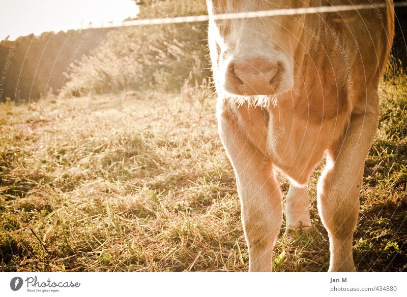 Cow in the pasture Environment Nature Summer Beautiful weather Grass Meadow Animal Farm animal 1 Observe Stand Near Curiosity Brown Moody Love of animals