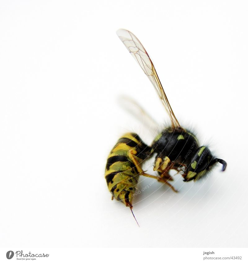 wasp Wasps Insect Thief Bulge Flying Wing Spine