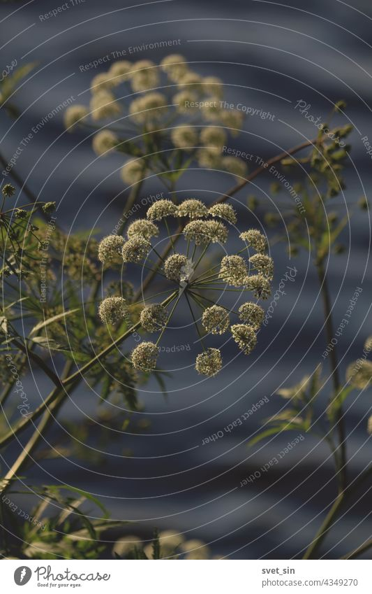 Cicuta virosa, Cowbane.  White flowers of an umbrella plant on the background of a blue wavy surface of the lake. white umbel outdoors water green close-up