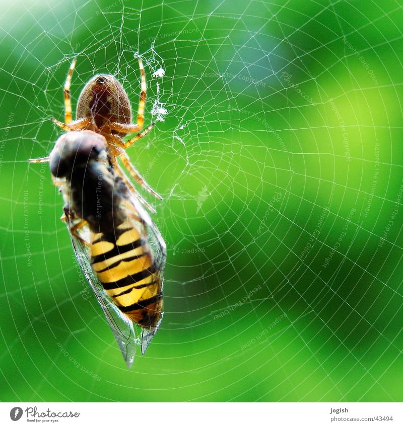 Net Captured Spider Thief Feed Insect Hover fly