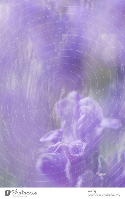 Macro of a lavender flower. As a double exposure through a lavender bush. Lavender Blossom Violet Plant Fragrance Colour photo Nature Flower Summer Blossoming