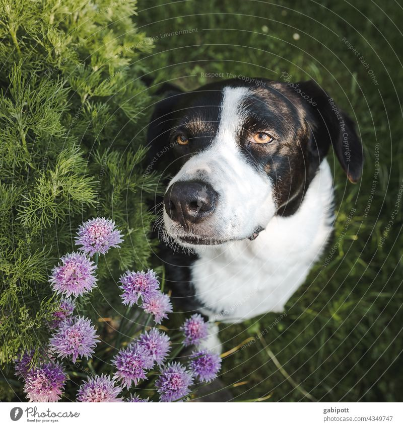 faithful dog look with purple chive flowers Dog Puppydog eyes Dog's head Looking cute Pet Animal Dog's snout Animal portrait Animal face Colour photo Cute Snout