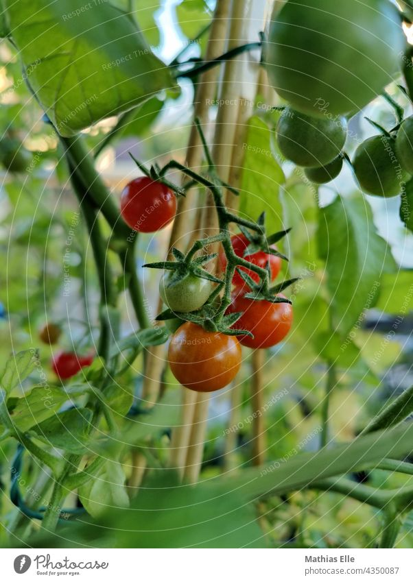 Small cocktail tomatoes in the middle of the tomato plant Tomato Mature Vegetable Garden Food Fruit naturally Juicy Green Gardening Delicious Diet Fresh Eating