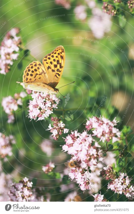 Orange butterfly, pearl butterfly sits on pink flowers in the evening sun Close-up Exterior shot Colour photo Butterfly Sunlight Happiness Happy 1 Blossom