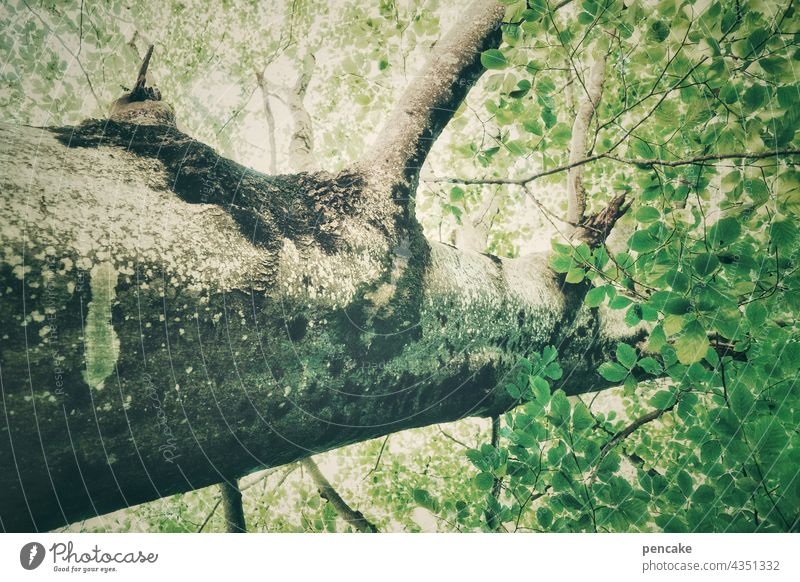 pedigree Strong Tree Forest Tree trunk Environment Deciduous tree Leaf Treetop Tree bark Twig Green Leaf canopy Branch Worm's-eye view