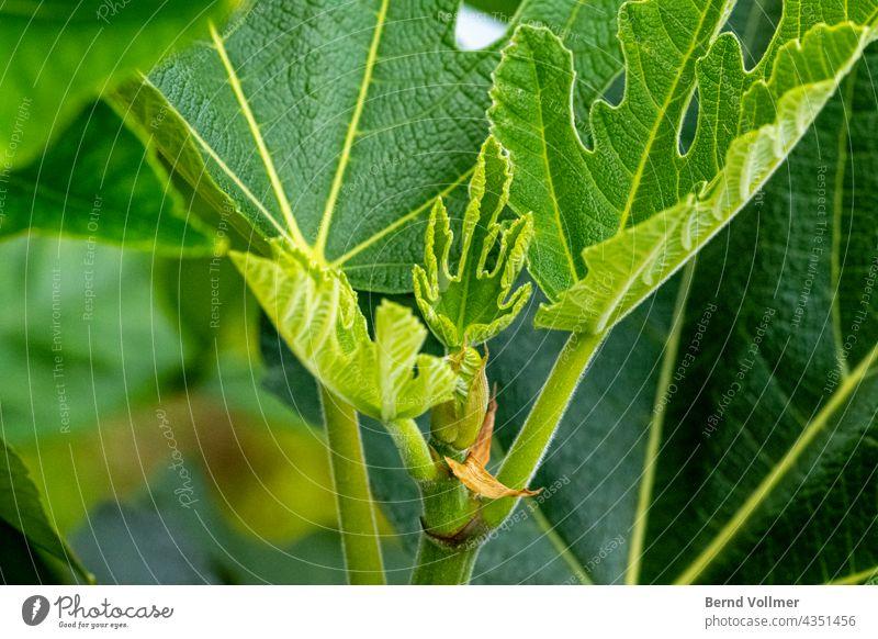 Fig tree new shoots ficus Garden plants naturally Tree Fruit Fresh Food