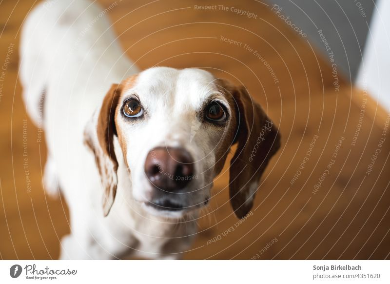 """Istrian short haired Bracke practices the """"dachshund look"""" while begging for a treat Dog Beg Puppy dog look istrian shorthaired brunette Pet Animal portrait"""