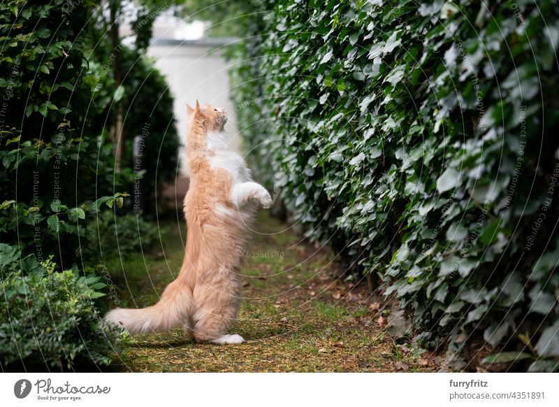 curious maine coon cat standing on hind legs looking for prey outdoors nature green pets fluffy fur feline white cream colored longhair cat one animal garden