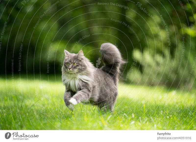 cat with fluffy tail running on green lawn outdoors nature pets fur feline maine coon cat white blue gray longhair cat one animal meadow grass garden