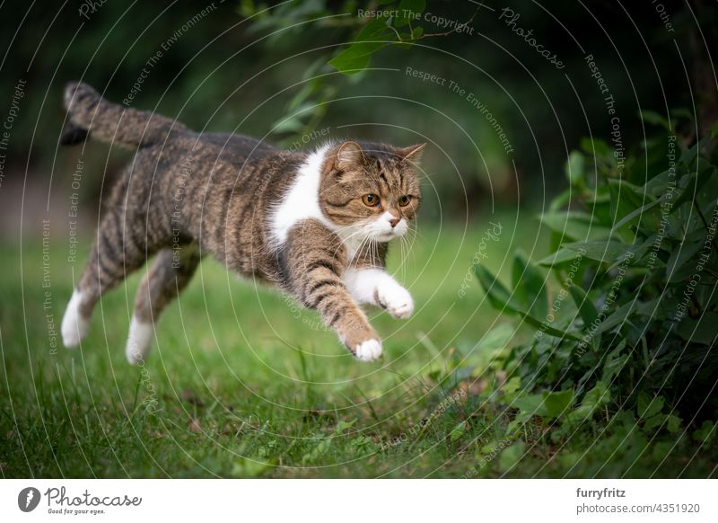 cat running  jumping on green lawn outdoors nature pets fluffy fur feline british shorthair cat tabby white one animal meadow grass garden front or backyard