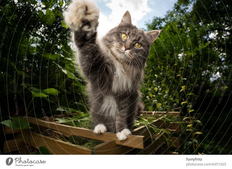 playful cat outdoors  reaching for camera nature green pets fluffy fur feline maine coon cat white blue gray longhair cat one animal garden front or backyard