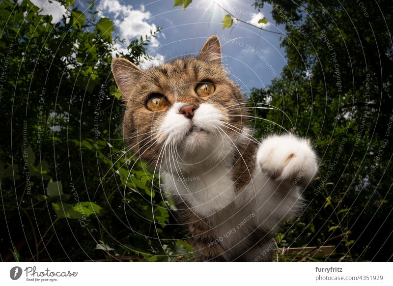 curious tabby white cat outdoors reaching for camera with paw nature green pets fluffy fur feline british shorthair cat one animal garden front or backyard