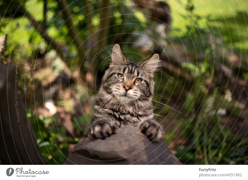 playful tabby maine coon cat rearing up on a stone outdoors nature green purebred cat pets fluffy fur feline longhair cat one animal garden front or backyard