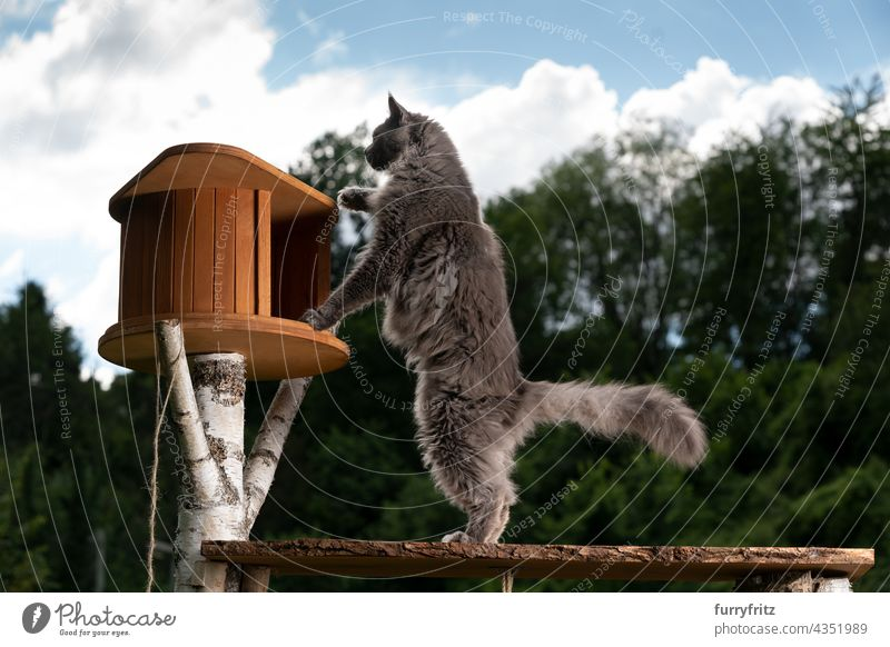 curious gray maine coon cat inspecting new cat tree outdoors nature green purebred cat pets fluffy fur feline blue longhair cat one animal garden