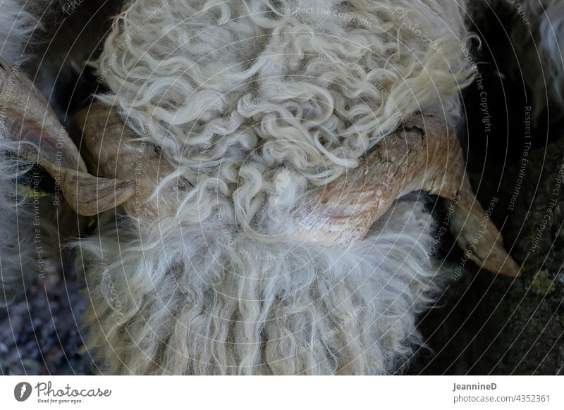 Sheep, close up from above with sinuous horns sheep's wool Animal Mammal from on high Farm animal Nature Pelt Wool Sustainability Agriculture Deserted Close-up