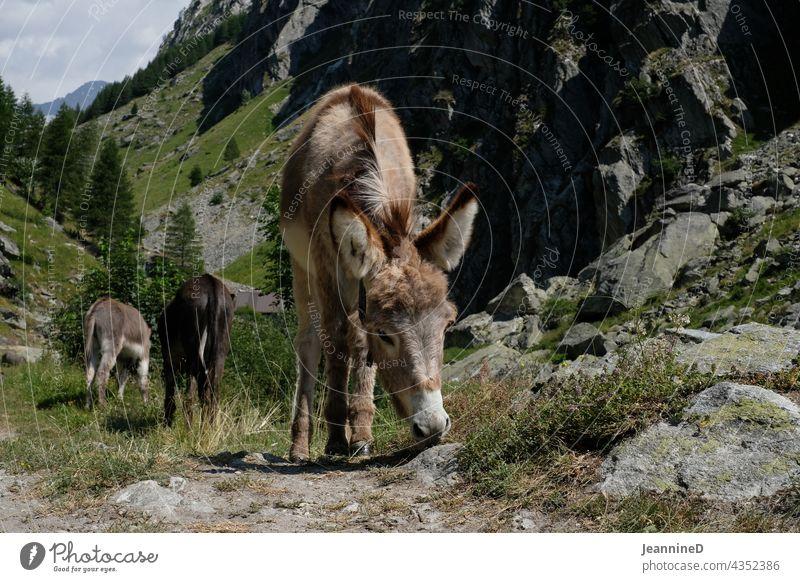 burro Donkey Nature Animal portrait Day mountains Exterior shot Alps Farm animal graze Tone-on-tone Summer Sustainability Attentive untreated Peasant life