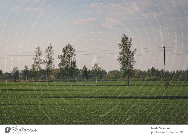 lines in the field, birches in meadow, spring landscape sunlight infrastructure voltage electricity countryside sunset farm cloud paddy wild fresh fields