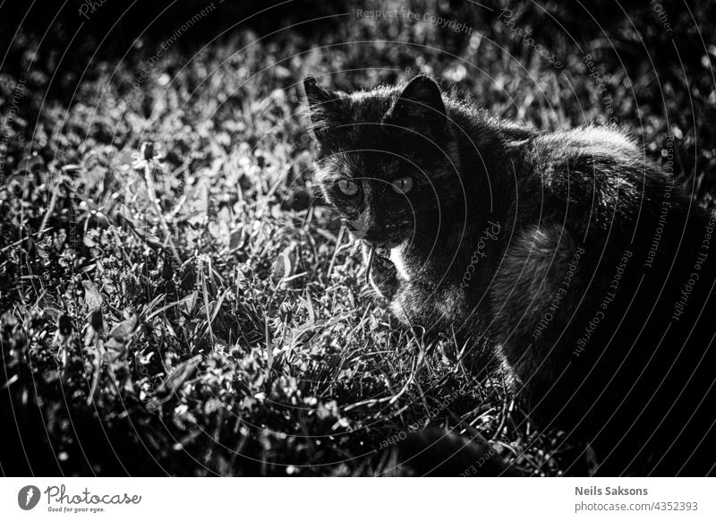 cat with mouse in his mouth. Hunting, catching for food. Black and white. abstract animal art backdrop background black closeup dark design dirty domestic eat