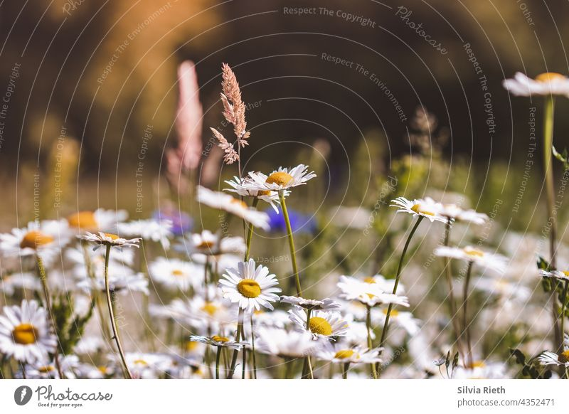 Summer meadow with daisies, grasses and cornflowers Deserted Marguerite Margarites Flower Blossom Nature Blossoming pretty Close-up Shallow depth of field