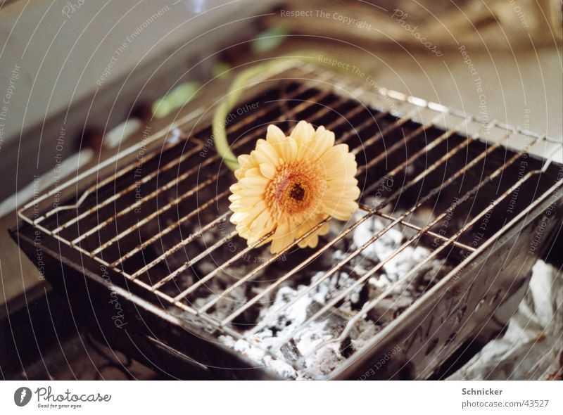 Coming and going Barbecue (apparatus) Gerbera Flower Plant Things Nature Cooking