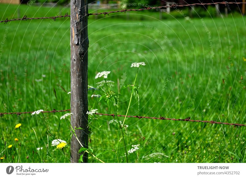 Pasture fence: Some white and yellow meadow flowers grow next to an old wooden fence post standing in a lush green Upper Bavarian meadow, supporting an equally old rusty barbed wire above and below.