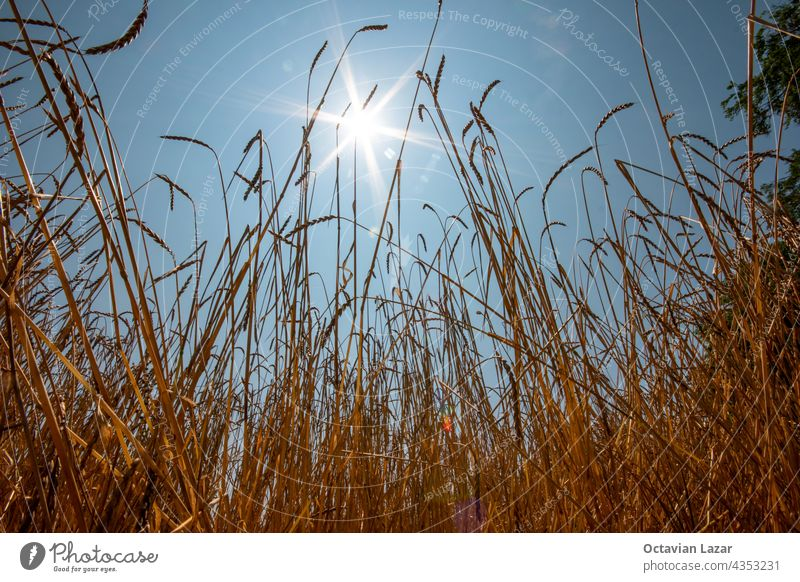 Golden wheat field before harvest low angle view point sun rays in the sky no people nobody colorful grow beauty light outdoors agricultural gold stem ear
