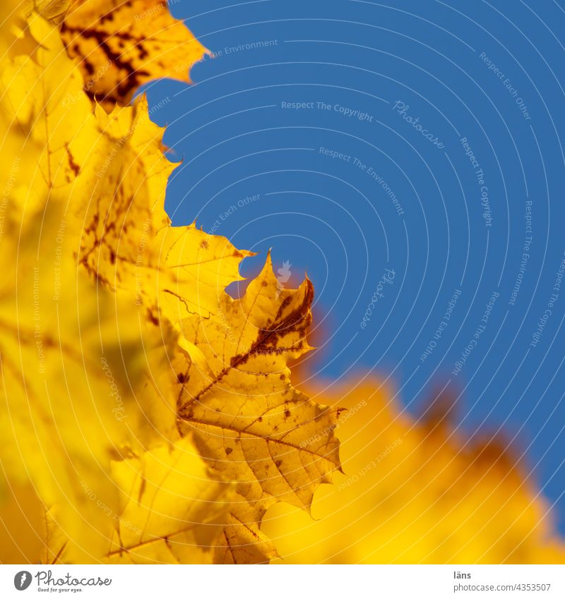 Golden Autumn leaves Autumnal colours Nature Leaf Yellow Deserted Transience Plant Change