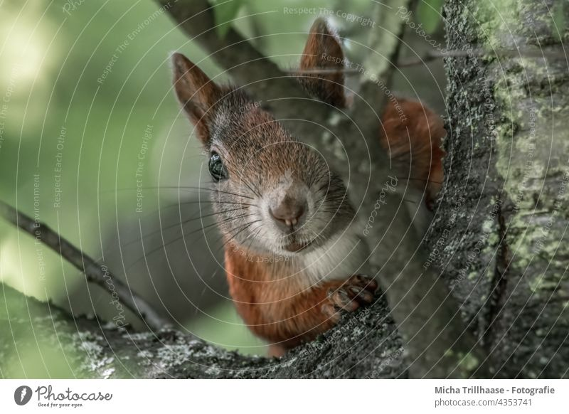 Cautiously watching squirrel Squirrel sciurus vulgaris Animal face Head Eyes Muzzle Nose Ear Pelt Paw Claw Rodent Nature Wild animal Observe Looking Curiosity