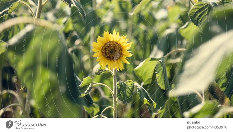 field with blooming sunflowers on a summer day afternoon agriculture blossom blue bright countryside flora floral garden green growth landscape leaf meadow