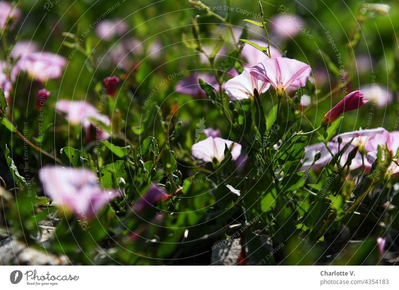 Funnel Wines flowers Calyx Blossom Plant Colour photo Summer Blossoming Exterior shot Flower Nature Wild plant wild plants blurriness daylight flowering flower