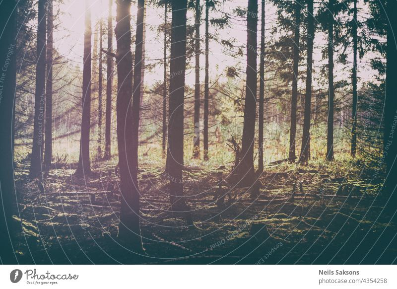 vintage version of early autumn sunset in coniferous forest in Latvia. Pine and fir tree silhouettes against the harsh sunlight abstract background beautiful