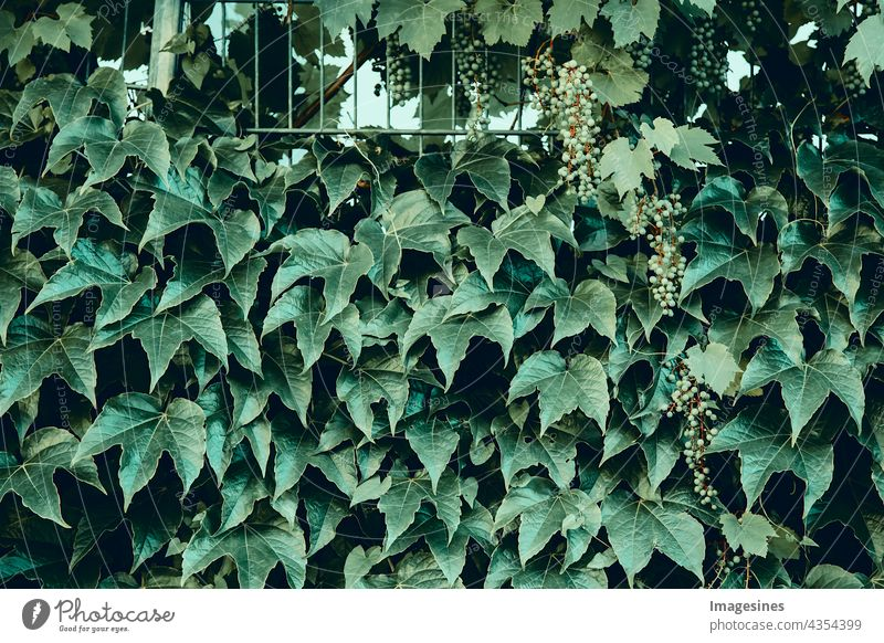 Common ivy. Abstract green leaves natural wall. Green plants background. Hedge wall of green leaves. Green plant texture. backgrounds banner Botany bush climber