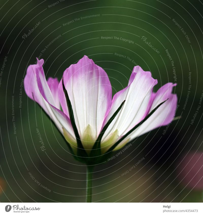 two-tone jewellery basket backlit Cosmos Cosmea Flower Blossom Nature Plant Blossoming Summer Flower meadow Exterior shot Deserted Close-up Detail