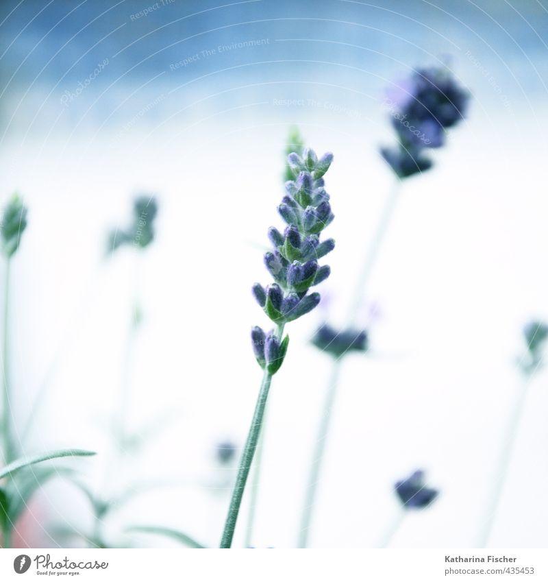 Nature Blue Green White Plant Leaf Brown Blossoming Violet Agricultural crop Lavender Wild plant Pot plant