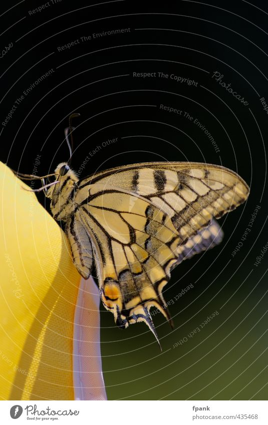 "On the edge of the sunshade universe Nature Animal Wild animal Butterfly Wing 1 Yellow Black ""Insect,"" butterflies Feeler underside of wing Legs imago"
