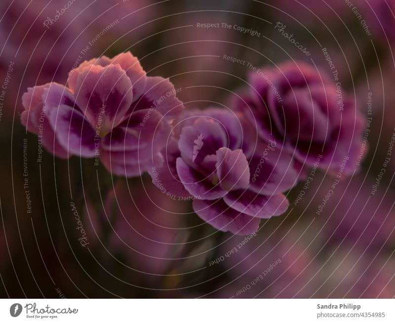 3 carnation blossoms in front of a blurred background Blossom Spring pretty Pink Nature Plant Colour photo naturally Garden Close-up Macro (Extreme close-up)