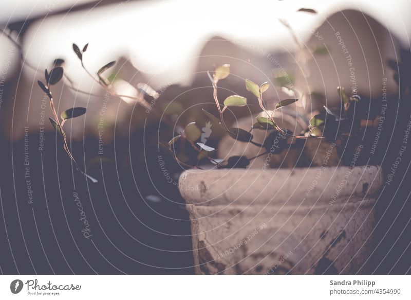 Green plant in nostalgic pot in front of blurred background Flower Nature Plant Garden Close-up Blossom Exterior shot Detail Colour photo Day