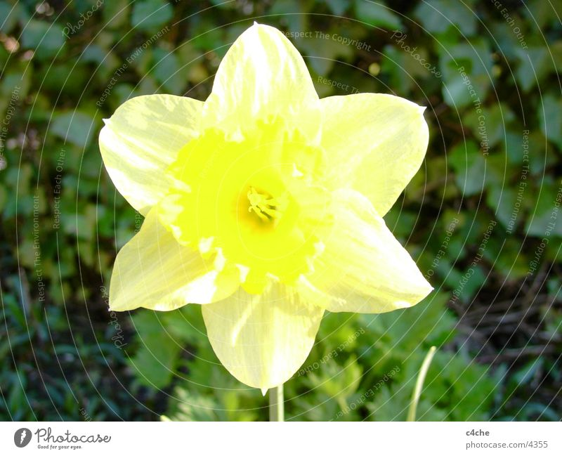 flower Flower Yellow Plant Spring osertglocke Nature Freedom