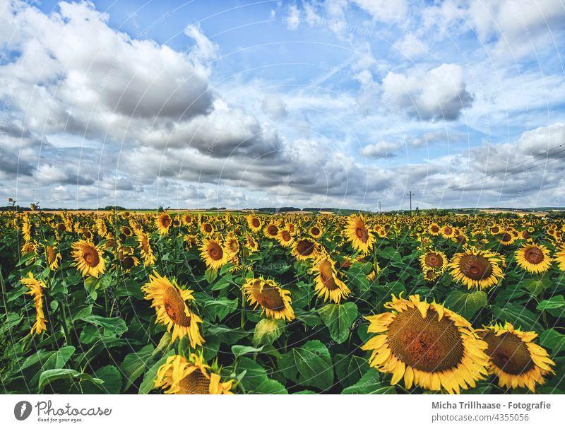 sunflower field Sunflowers Helianthus annuus Sunflower field Flower field Field blossoms leaves Nature Sky Clouds sunshine Landscape wax Agriculture plants