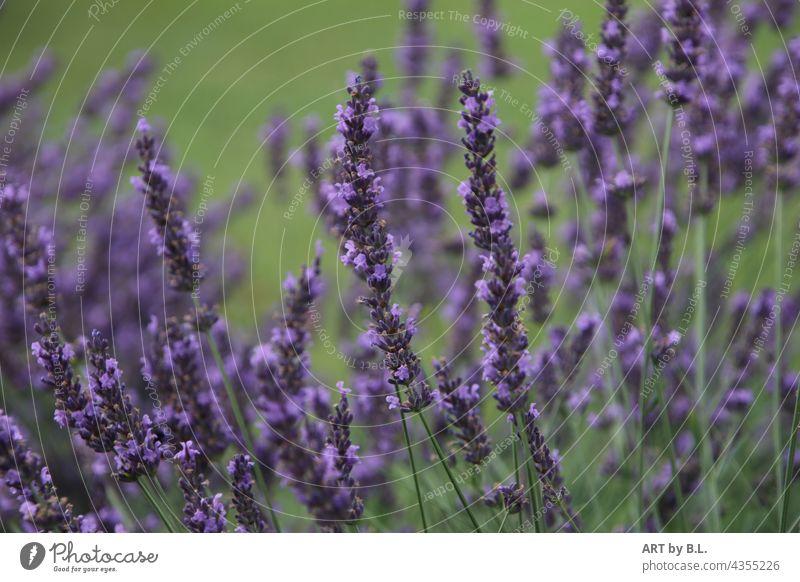 lavender Plant Fragrance Fragrant flavor Flower medicinal plant blossoms Garden Nature Lavender bed Garden Bed (Horticulture) Flowerbed